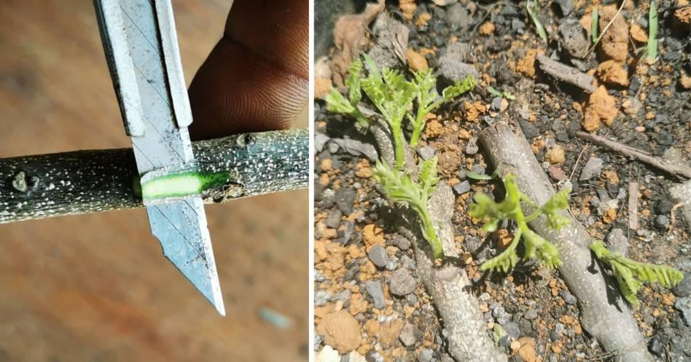 Pembiakkan Keratan Batang Untuk Hasilkan Pokok Kari Cepat Besar Dan Merimbun