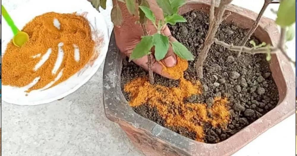 3 Kegunaan Serbuk Kunyit UntukTujuan Berkebun Yang Ramai Tak Tahu