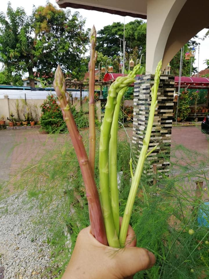 Macam Ni Rupanya Tanam Asparagus Menjadi, Pokoknya Boleh Tahan Hidup 20 Tahun 2