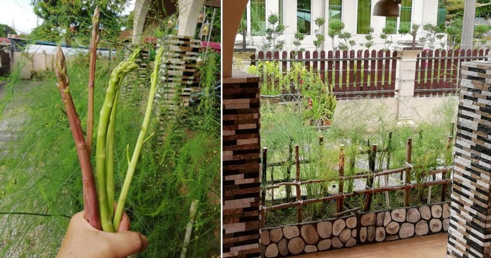 Macam Ni Rupanya Tanam Asparagus Menjadi, Pokoknya Boleh Tahan Hidup 20 Tahun