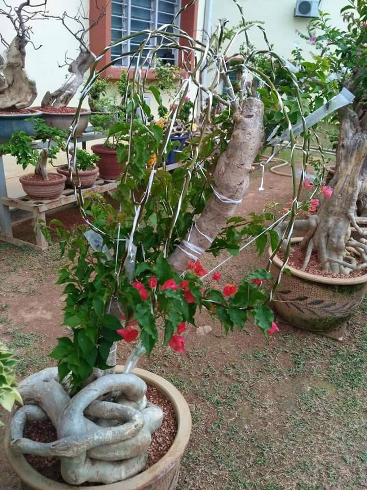 Pokok Bunga Kertas Nampak Merimbun, Ini Caranya 7