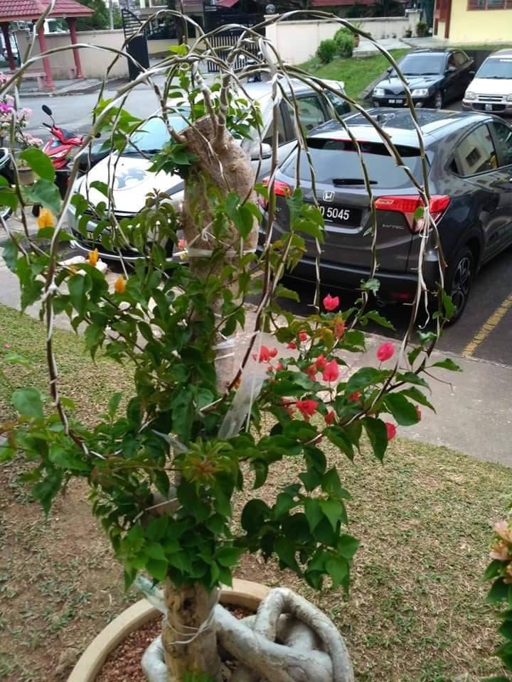 Pokok Bunga Kertas Nampak Merimbun, Ini Caranya 6