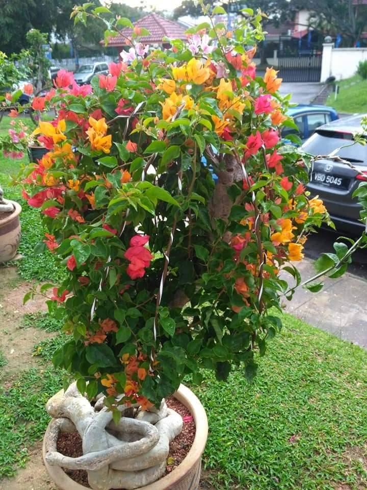 Pokok Bunga Kertas Nampak Merimbun, Ini Caranya 3