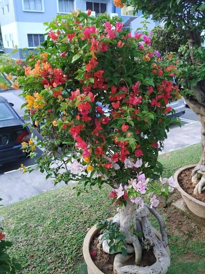 Pokok Bunga Kertas Nampak Merimbun, Ini Caranya 4