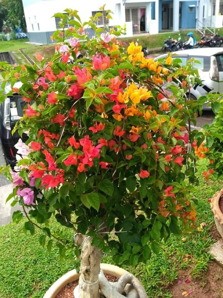 Pokok Bunga Kertas Nampak Merimbun, Ini Caranya 2