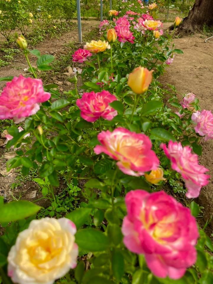 Rawatan Akar Dan Tanah Untuk Hasilkan Bunga Ros Kepuk-Kepuk 8