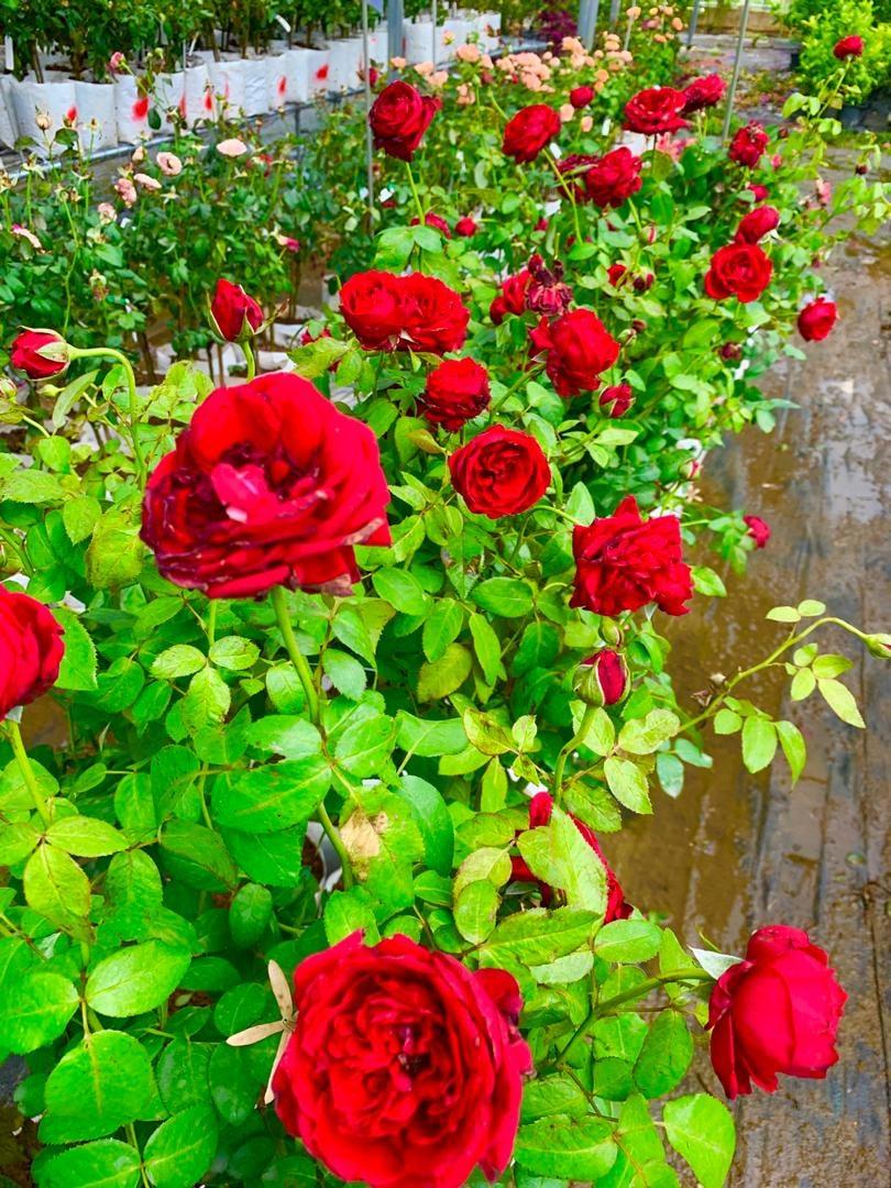 Rawatan Akar Dan Tanah Untuk Hasilkan Bunga Ros Kepuk-Kepuk 6