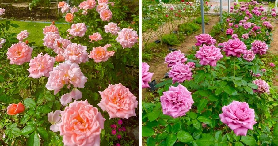 Rawatan Akar Dan Tanah Untuk Hasilkan Bunga Ros Kepuk-Kepuk