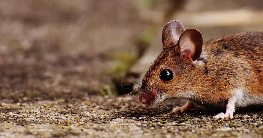 4 Tanda Kediaman Anda Menjadi Habitat Tikus