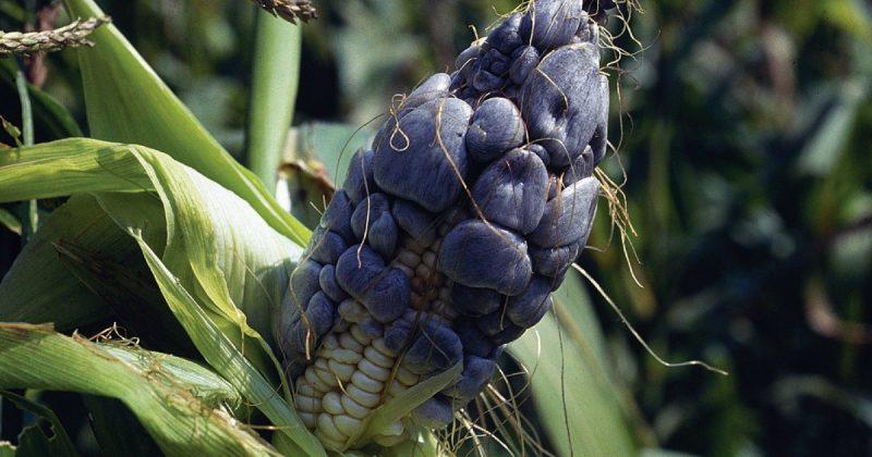 Kulat Jagung Menjadi Makanan Istimewa Dan Harganya Lebih Tinggi