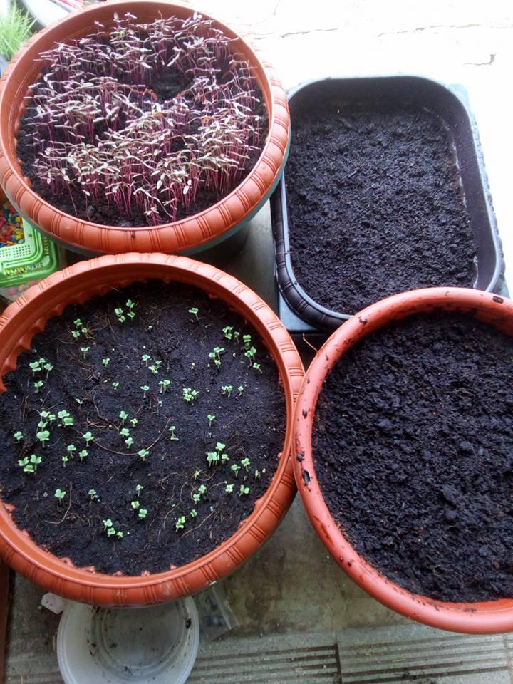 Cara Tanam Salad Subur Dalam Pasu Hidropot Dari Bekas Bajet RM5 4