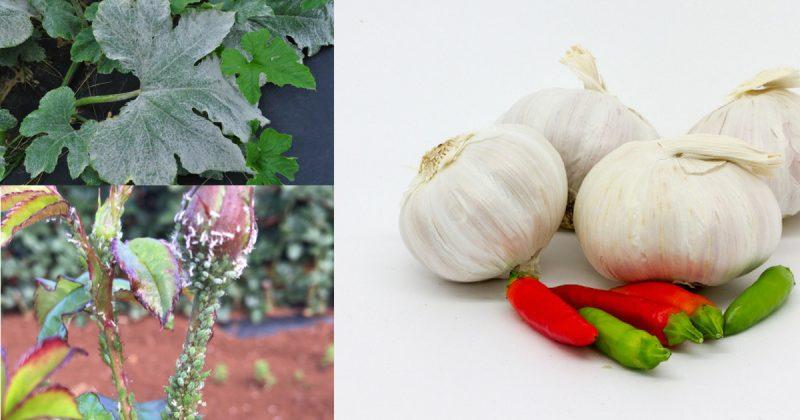 10 Kegunaan Dan Kebaikan Bawang Putih Di Kebun Yang Ramai Tak Tahu
