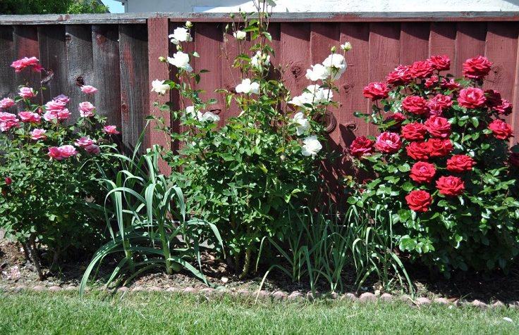 10 Kegunaan Dan Kebaikan Bawang Putih Di Kebun Yang Ramai Tak Tahu 2