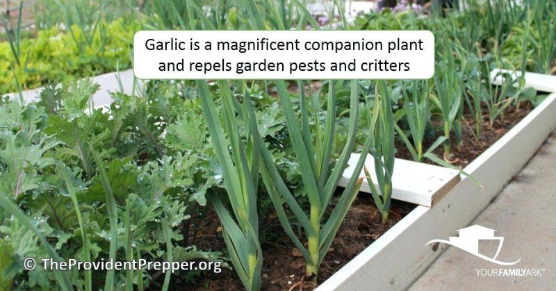 10 Kegunaan Dan Kebaikan Bawang Putih Di Kebun Yang Ramai Tak Tahu 8
