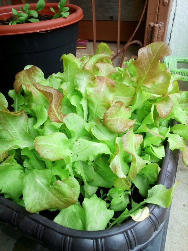 Cara Tanam Salad Subur Dalam Pasu Hidropot Dari Bekas Bajet RM5 6