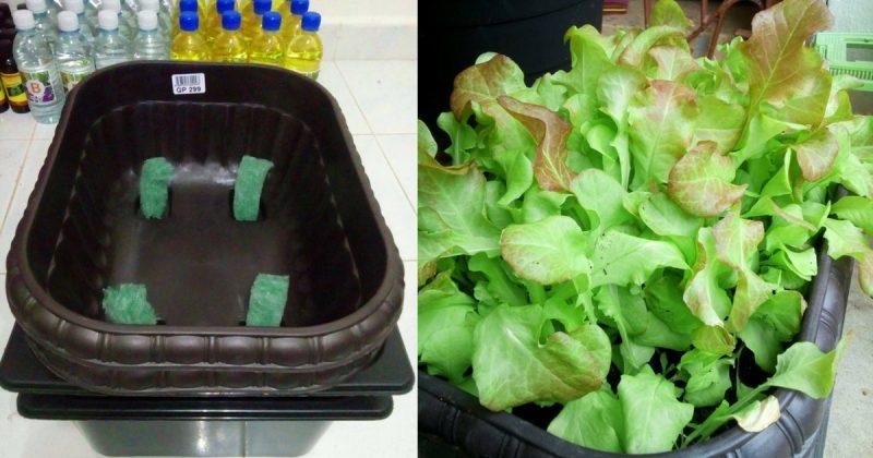 Cara Tanam Salad Subur Dalam Pasu Hidropot Dari Bekas Bajet RM5