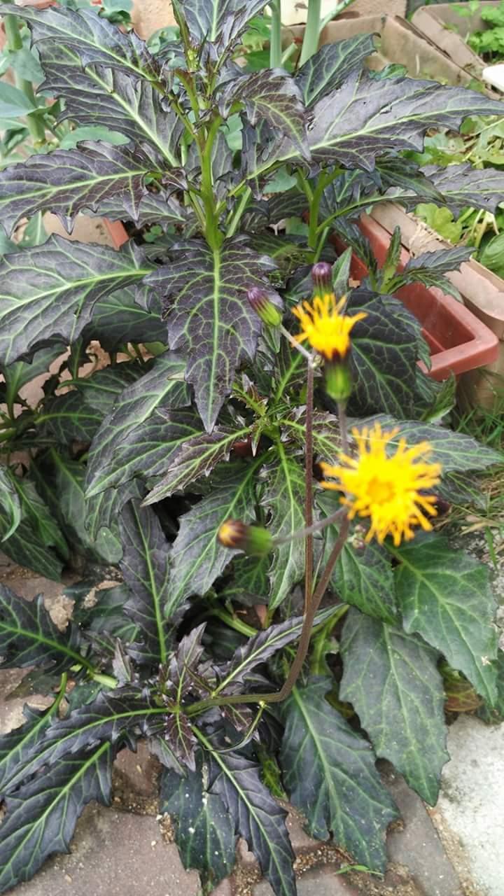 Sambung Nyawa Batik Rawatan Untuk Hilangkan Bisa Ular, Kalajengking, Tabuan, Lebah dan Antidot Demam 2