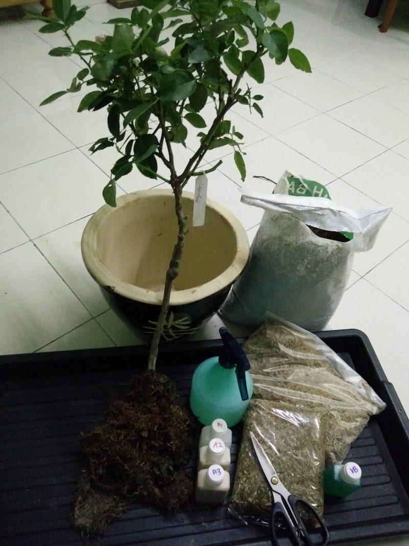 Tanam English Rose Guna Teknik Ini Confirm Pokok Subur Bunga Merimbun 2