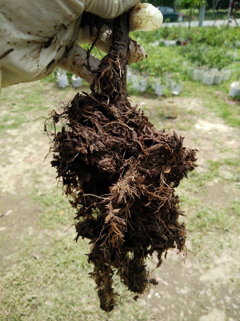 Tanam English Rose Guna Teknik Ini Confirm Pokok Subur Bunga Merimbun 4