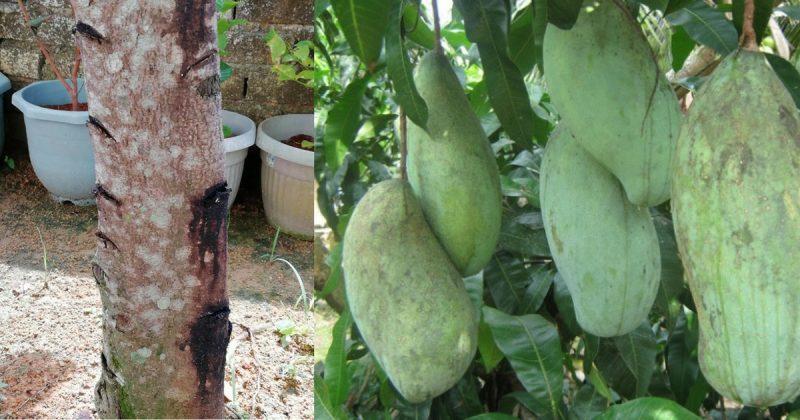Teknik Orang Dulu-Dulu Sebat, Ugut, Tetak Pokok Untuk Paksa Berbuah