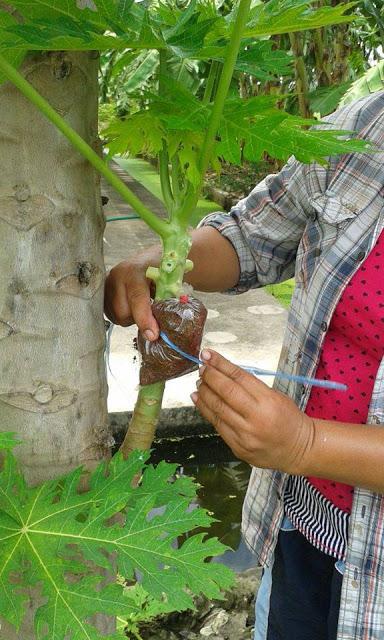 Ini Cara Tut Pokok Betik Untuk Dapatkan Hasil Buah Yang Banyak 10