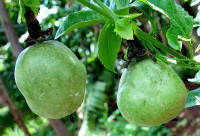 8 Penyakit Yang Kerap Menyerang Pokok Markisa dan Menjejaskan penghasilan Buah 6