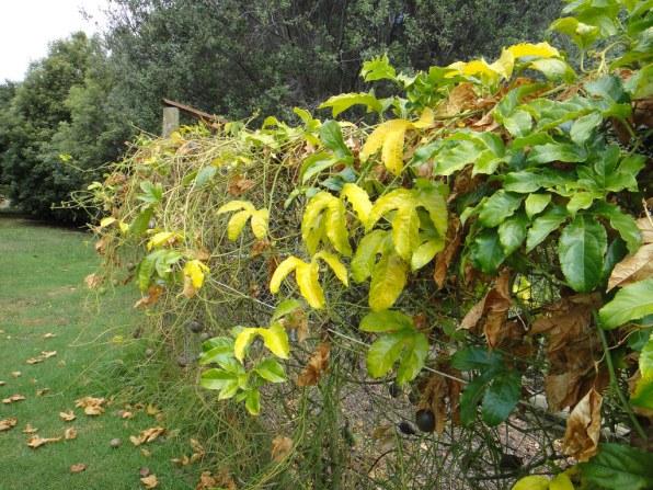 8 Penyakit Yang Kerap Menyerang Pokok Markisa dan Menjejaskan penghasilan Buah 2