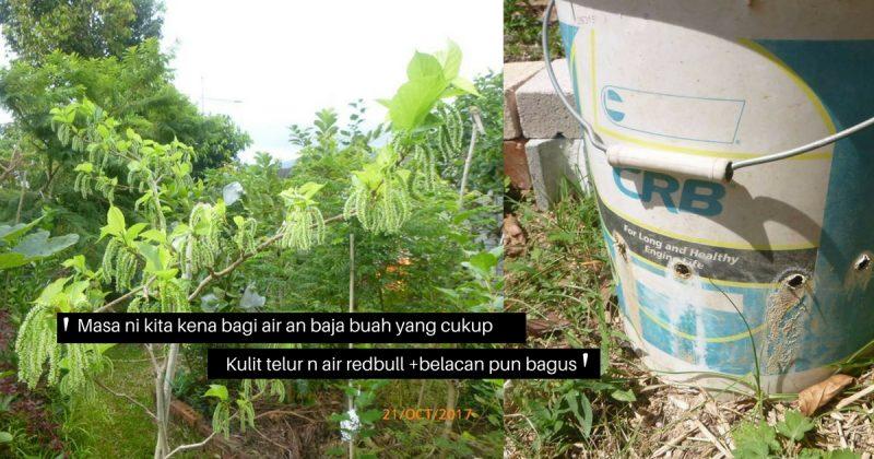 Penangan Baja Redbull Pokok Mulberry Pakistan Berbuah Lebat