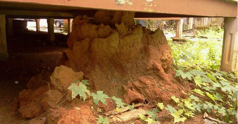 Tanah Busut Anai-anai Mampu Menyuburkan Tanah?