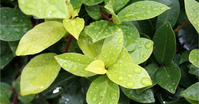 Kenali English Herbs; Daun Bay Perbaiki Aroma Rasa Makanan