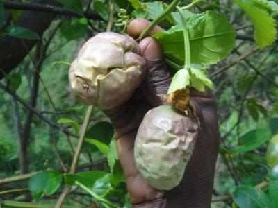 8 Penyakit Yang Kerap Menyerang Pokok Markisa dan Menjejaskan penghasilan Buah 8