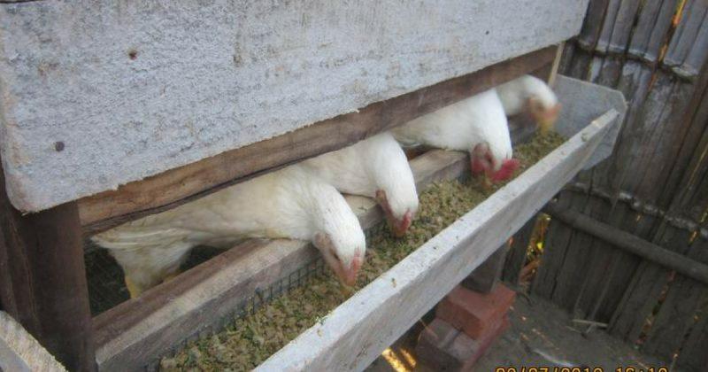 Ini Sebab Orang Thailand Dan Indonesia Bagi Kambing dan Ayam Makan Batang Pisang