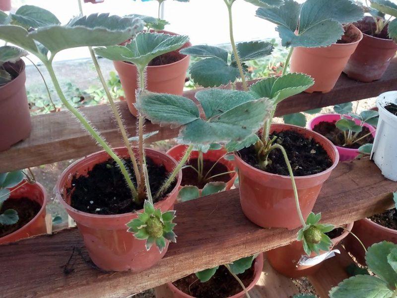 7 Tip Mudah Tanam Buah Strawberi Tanah Rendah Menjadi Dan Sedap 3