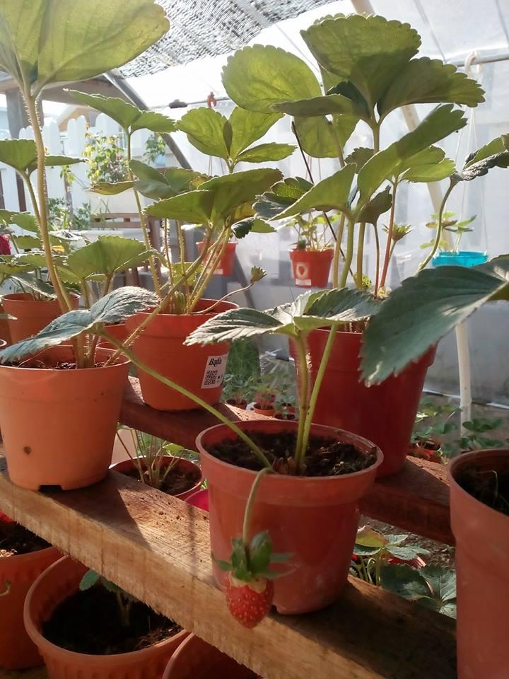 7 Tip Mudah Tanam Buah Strawberi Tanah Rendah Menjadi Dan Sedap 4