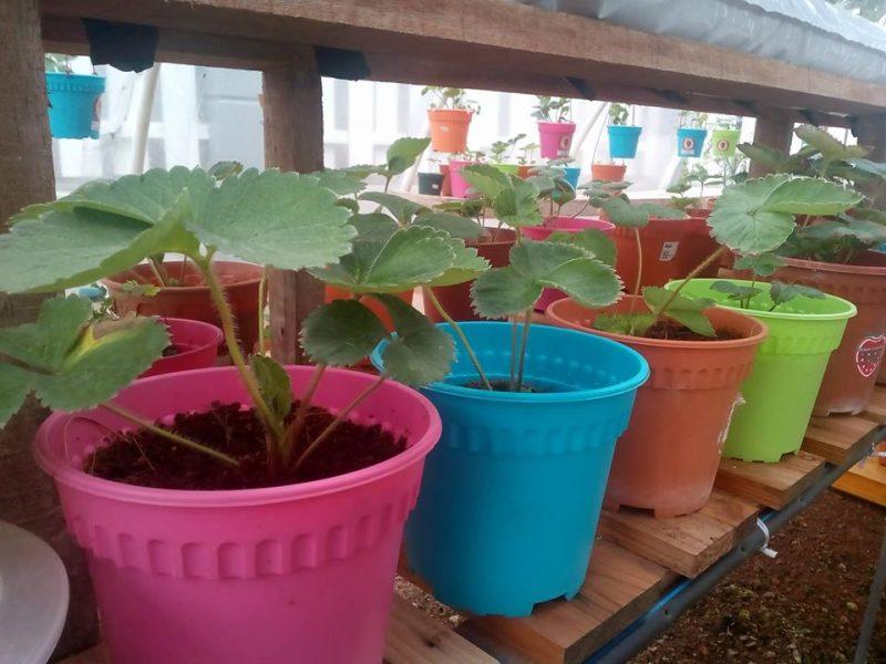 7 Tip Mudah Tanam Buah Strawberi Tanah Rendah Menjadi Dan Sedap 6