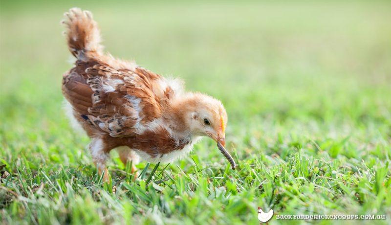 76 Koleksi Gambar Anak Kecil Adu Ayam HD