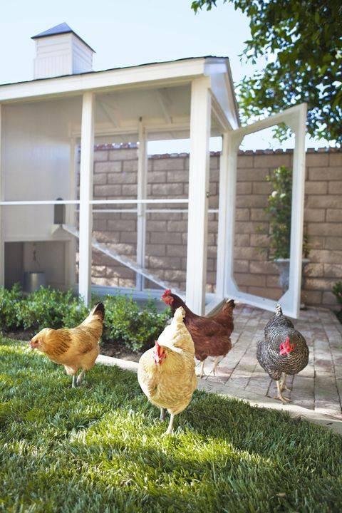 3 Tip Bela Ayam Di Pekarangan Rumah Tanpa Risau Bau Busuk Dan Setiasa Bersih 4