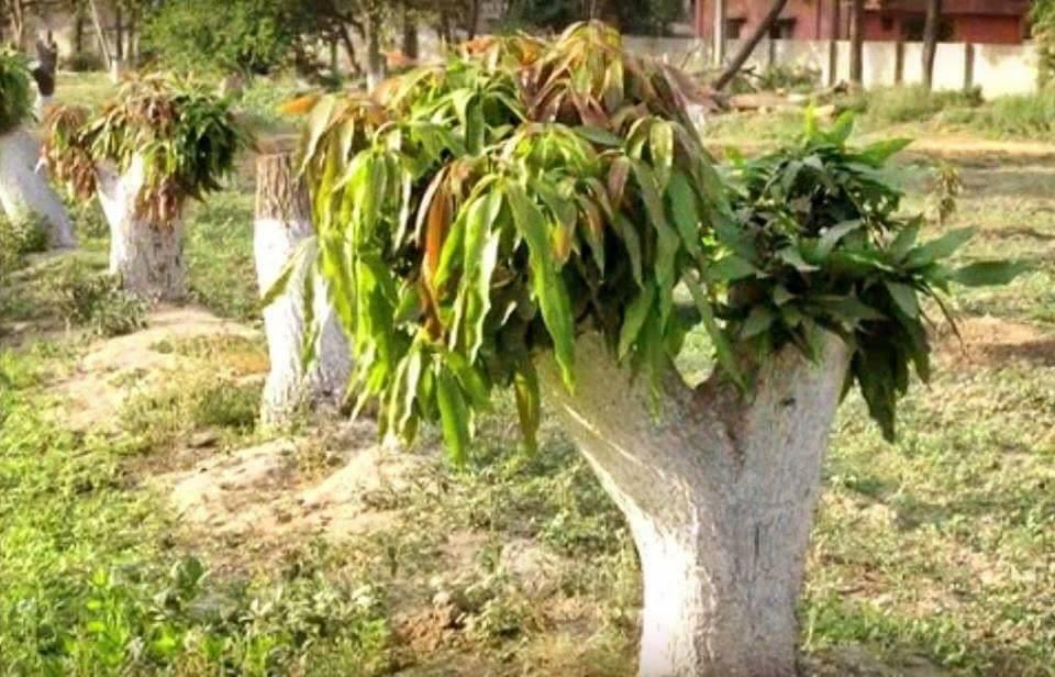 Pokok Dah Tua dan Tak Berbuah, Cuba Buat Macam Ni 5
