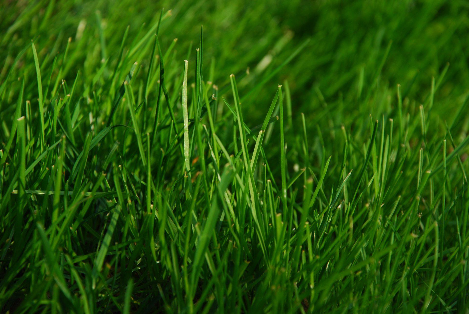 Selain Kaedah Penanaman Yang Salah, Ini Mungkin Penyebab Rumput Di Laman Anda Tidak Menjadi 5