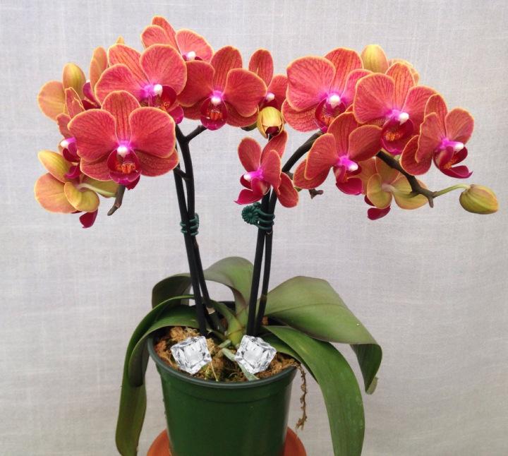 Teknik Siram Guna Ais Kiub Elak Pokok Orkid Terlebih Air 2